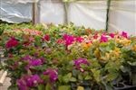 BOUGAINVILLEA-DISCOUNT COMBO PACK--(25) Colors Nursery Choice