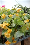 Bougainvillea California Gold-Blooms Gold-Yellow with Green Foliage-Tropical 9+
