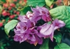 ARBOREA BRAZILENSIS-Blooms Lilac with Green Foliage