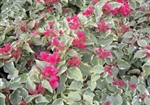 RUBRA-RED BLOOMS VARIEGATED FOLIAGE