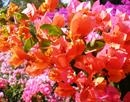 Bougainvillea Tequilla Sunrise-Bicolor Blooms Orange to Pink with Green Foliage