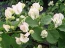 Bougainvillea Seafoam-Blooms White with Green Foliage