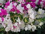 Bougainvillea Vicky-Bicolor Blooms Lavender Rose and White with Variegated Voliage