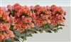 BOUGAINVILLEA AFTERGLOW-Blooms Orange with Green Foliage-Tropical  ZONE 9+