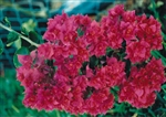Bougainvillea Mahara Magic-Double Blooms Red with Green Foliage