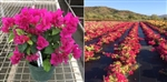BOUGAINVILLEA SUNSTONE RED-Blooms Red with Variegated Foliage-Tropical 9+