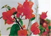 Bougainvillea Fiesta-Blooms Orange-Red with Green Foliage