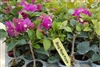 Bougainvillea Royal Purple-Purple Blooms with Green Foliage Z 9+