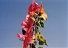 Bougainvillea Mardi Gras-Blooms Orange-Red with Variegated Foliage