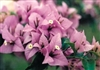 Bougainvillea Easter Parade-Blooms Lilac with Green Foliage
