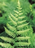 Fern Toothed Wood Fern-Dryopteris spinulosa  Zone 4-9