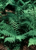 FERN LEATHERWOOD FERN-Dryopteris marginalis  Zone 3-8