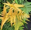 NEW UNIQUE * FERN COMBO 1** 10 FERNS-HEUCHERA ASSORTED OR YOUR CHOICE