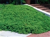 GREEN MOUND JUNIPER-procumbens nana shrub Zone 4