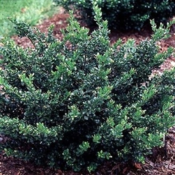 COMPACTA HOLLY-Ilex crenata 'COMPACTA' Evergreen Shrub Zone: 5