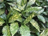 AUCUBA VARIEGATED GOLD DUST- Aucuba japonica 'Variegata' Shrub Zone:  6