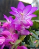 CHRISTMAS CACTUS ROSE-Schlumbergera bridgessii Tropical Zone 9+