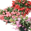 CHRISTMAS CACTUS ASSORTED-Schlumbergera bridgessii Tropical Zone 9+