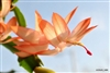 CHRISTMAS CACTUS PEACH-Schlumbergera bridgessii Tropical Zone 9+