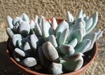 UNIQUE SUCCULENT PACHYVERIA GLAUCA 'LITTLE JEWEL'