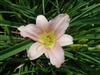 Little Wart Daylily-Hemerocallis 'Little Wart' Light Lavender Blooms Ground Cover Zone:  3