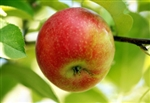 Apple Tree Anna--Malus domestica Zones 5-9   Chill:  100-300 hrs
