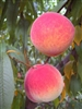 ENCORE PEACH--Prunus persica USDA Zones 6 Chill: 900 hrs