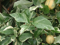 LEMON VARIEGATED  MEYER LEMON- Citrus limon 'Variegated Meyer' Zone 9