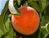 Harvester Peach- Prunus persica  Zone 5 Chill: 750 hrs