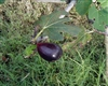 Fig Black Mission-Ficus carica Zone 7  Chill Hrs 100  4-10 Feet Self Fertile