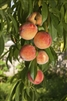 Peach Sam Houston Peach-Prunus persica USDA Zones 8 Chill: 500 hrs
