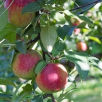 PINK LADY APPLE TREE-Malus domestica 'PINK LADY'  Needs Pollinator Zone 5