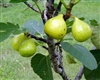 Fig Ischia  Ficus carica 'Ischia' Zone 7-11 Chill Hrs 100-200