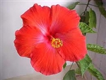 HIBISCUS PRESIDENT-Single Red Bloom, rosa-sinensis-Tropical Zone 9+
