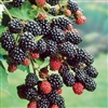 RUBUS 'PRIME ARK-45' BLACKBERRY PRIMOCANE THORNY ZONE 4-8