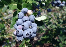 Blueberry Vaccinium 'Hardy Blue' Northern Blueberry  Zone 4-7 Chill hours 800+