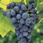Grape Vine 'CONCORD' Vitis labrusca  BUNCH GRAPE  BLACK SEEDLESS Fruit Zone 4