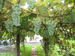 NIAGRA Vitis labrusca  BUNCH GRAPE VINE  WHITE SEEDLESS Zone 5