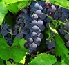 ST. CROIX PURPLE TABLE OR WINE GRAPE VINE-Ultra cold weather vine Z-4