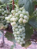 ROUSSANNE WHITE GRAPE Zone 7