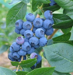Blueberry Vaccinium 'Misty' Southern Blueberry Zone 8 Chill hrs 150