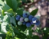 Blueberry Vaccinium Jewel-EARLY Season Southern Blueberry Zone: 8 CHILL: 200 HRS
