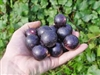 Muscadine Vitus 'Jumbo' Muscadine Large Black Fruit Zone 7
