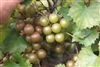 Muscadine Vitus 'Welder' Muscadine Large Bronze Fruit Zone 7