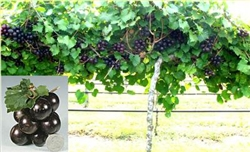 Muscadine Vitus 'SOUTHERN JEWEL' Muscadine Dark Large Size Fruit Zone 7