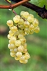 CHARDONNAY CALIFORNIA GRAPE VINE