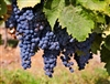 MERLOT FRENCH GRAPE VINE DARK PURPLE GRAPE  ZONE 7