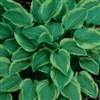 HOSTA GOLDEN TIARA DWARF VARIEGATED LAVENDER BLOOMS  Z 3-9