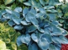 HOSTA HALCYON-MEDIUM SIZED, BLUE LEAVES PALE LILAC BLOOMS Z 3-9