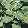 HOSTA 'FRANCEE' LARGE VARIEGATED LEAVES WITH LAVENDER BLOOMS Z 3-9